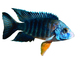 Cichlid [Cichlidae], photo-object, object, cut-out, cutout, AABV03P10_07F