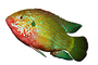 African Jewelfish, Jewel Cichlid photo-object, object, cut-out, cutout, (Hemichromis bimaculatus), Perciformes, Hemichromini, Pseudocrenilabrinae, [Cichlidae], Cichlids, AABV03P10_08F