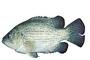 Rock Bass, (Ambloplites rupestris), [Centrarchidae], Perciformes, photo-object, object, cut-out, cutout, AABV03P15_03F