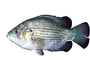 Rock Bass, (Ambloplites rupestris), [Centrarchidae], Perciformes, photo-object, object, cut-out, cutout, AABV03P15_04F