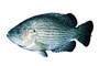 Rock Bass, (Ambloplites rupestris), [Centrarchidae], Perciformes, photo-object, object, cut-out, cutout, AABV04P03_14F