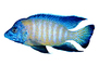 Flavescent Peacock Cichlid, (Aulonocara stuartgranti), Perciformes, [Cichlidae], Cichlid, Lake Malawi, photo-object, object, cut-out, cutout, AABV04P04_10F
