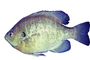 Bluegill Sunfish, (Lepomis macrochirus), Perciformes, Centrarchidae, photo-object, object, cut-out, cutout, AABV04P05_12F