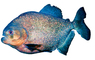 Red Bellied Piranha, (Pygocentrus nattereri), Charican, Characidae, Characin, Characiformes, photo-object, object, cut-out, cutout, AABV04P06_10F