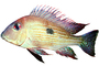 Cichlid [Cichlidae], photo-object, object, cut-out, cutout, AABV04P06_13F