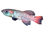 Guenther's Notho, Nothobranchius guentheri, Killifish, Cyprinodontiformes, Aplocheilidae, eastern Tanzania, East Africa, photo-object, object, cut-out, cutout, AABV04P08_18F