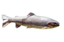 Trout, photo-object, object, cut-out, cutout, AABV04P09_10F