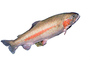 Golden Trout, photo-object, object, cut-out, cutout, AABV04P12_01F