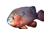 Longear Sunfish, (Lepomis megalotis), [Centrarchidae], Perciformes, photo-object, object, cut-out, cutout, AABV04P13_02F