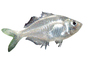 Charican, Characidae, Characin, Characiformes, photo-object, object, cut-out, cutout, AABV04P15_03F