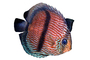 Discus Fish, (Symphysodon discus), Cichlid, Cichlidae, Perciformes, Brazil, photo-object, object, cut-out, cutout, Heroini , AABV04P15_18F