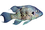 Cichlid [Cichlidae] native to Madagascar, photo-object, object, cut-out, cutout, AABV05P01_04F