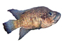 Black Diamond Cichlid, Marakely, (Paratilapia polleni), Perciformes, Cichlidae, Paratilapiinae, Lake Madagascar, Africa, photo-object, object, cut-out, cutout, AABV05P01_07F