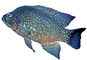 Black Diamond Cichlid, Marakely, (Paratilapia polleni), Perciformes, Cichlidae, Paratilapiinae, Lake Madagascar, Africa, photo-object, object, cut-out, cutout, AABV05P01_11F