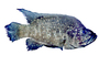 Black Diamond Cichlid, Marakely, (Paratilapia polleni), Perciformes, Cichlidae, Paratilapiinae, Lake Madagascar, Africa, photo-object, object, cut-out, cutout, AABV05P01_13F