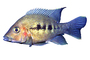 Cichlid [Cichlidae], Lake Madagascar, Africa, photo-object, object, cut-out, cutout, AABV05P01_15F