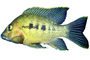 Cichlid [Cichlidae], Lake Madagascar, Africa, photo-object, object, cut-out, cutout, AABV05P01_16F