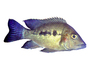 Cichlid [Cichlidae], Lake Madagascar, Africa, photo-object, object, cut-out, cutout, AABV05P01_17F