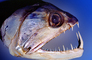 Vampire Characin, (Hydrolycus Scomberoides), teeth, jaw, fish head, mean, scary, AABV05P03_14