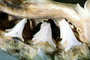 Great White Shark jaw, (Carcharodon carcharias), Shark Teeth, AACV01P06_18