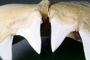 Great White Shark jaw, (Carcharodon carcharias), Shark Teeth, AACV01P07_01