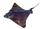 Bat Ray, (Myliobatis californica), Elasmobranchii, Myliobatiformes, Myliobatidae, photo-object, object, cut-out, cutout, AACV01P12_10F