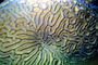 Brain Coral, St. Kitts, Carribean, AAKV01P12_04