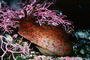 California Sea Hare, slug, (Aplysia californica), Aplysioidea, Aplysiidae