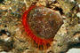 Flame Scallop, rough fileclam, (Lima scabra), Limoida, Limidae, Bysal Threads, Pteriomorphia, AAMD01_003