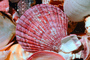 Scallop Shell, AAMV01P02_19.4096