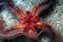 Spiney Brittle Star, (Ophiothrix spiculata), Starfish, Sea Star, Ophiuroideam, Ophiurida