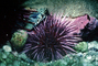 Red Sea Urchin, (Strongylorcentrotus franciscanus)