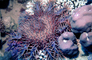 Crown of Thorns starfish, Red Sea