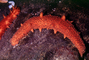 California Sea Cucumber, Parastichopus californicus