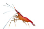 Pacific Cleaner Shrimp, (Lysmata amboinensis), Malacostraca, Decapoda, Hippolytidae, omnivorous, photo-object, object, cut-out, cutout