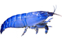 Freshwater Shrimp, (Atya gabonensis), Malacostraca, Decapoda, Atyidae, photo-object, object, cut-out, cutout, AARV02P02_17F