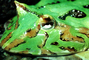 Argentine horned frog, (Ceratophrys ornata), [Lepodactylidae], pacman frog, eye
