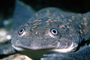 African Clawed Frog, (Xenopus laevis), Pipidae, AATV02P03_15