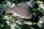 African Clawed Frog, (Xenopus laevis), Pipidae, AATV02P03_17