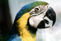 Blue and Gold Macaw, (Ara ararauna), ABCV01P01_02
