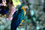Blue and Gold Macaw, (Ara ararauna), ABCV01P01_04.0354