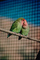 Peach Faced Lovebird, (Agapornis roseicollis)