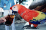 Parrot, Scarlet Macaw, (Ara macao), ABCV01P04_01