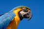 Blue and Gold Macaw, (Ara ararauna), ABCV01P04_13.2565