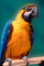 Blue and Gold Macaw, (Ara ararauna), ABCV01P04_14.3339