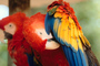 Scarlet Macaw, (Ara macao), feathers