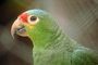 Red - Lored Amazon Parrot, (Amazona autumnalis)