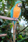 Blue and Gold Macaw, (Ara ararauna), Parrot