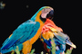 Blue and Gold Macaw, Scarlet Macaw