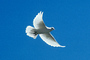 Equanimity of a Dove in Flight, wings, ABDV01P03_19C